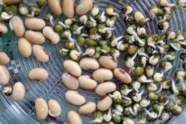 The soya beans are not too far behind the mung beans